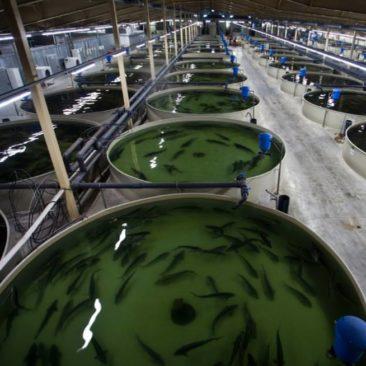 УЗВ бассейны для разведения рыбы